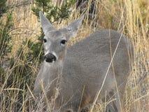 Олени белого кабеля (virginianus), большой национальный парк американского оленя загиба, TX Стоковое Изображение