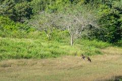 олени болота Стоковое Изображение