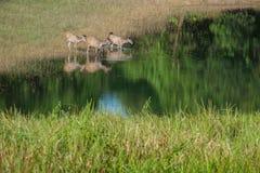олени болота Стоковая Фотография RF