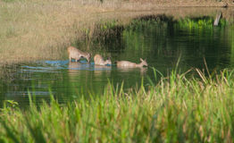 олени болота Стоковые Фото