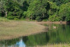олени болота Стоковое Изображение RF