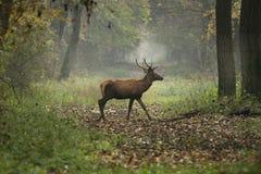 Олени в лесе Стоковое Изображение RF