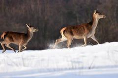 Олени в зиме Стоковое Изображение RF