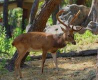 Олени в зоопарке, охране животного мира, животном и природе Таиланда Стоковые Фото