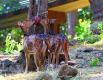 Олени в зоопарке, охране животного мира, животном и природе Таиланда Стоковые Изображения