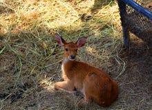 Олени в зоопарке, охране животного мира, животном и природе Таиланда Стоковая Фотография RF