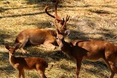 Олени в зоопарке, охране животного мира, животном и природе Таиланда Стоковое Изображение