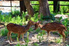 Олени в зоопарке, охране животного мира, животном и природе Таиланда Стоковые Изображения RF