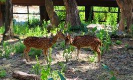 Олени в зоопарке, охране животного мира, животном и природе Таиланда Стоковая Фотография