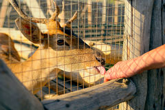 Олени в зоопарке Стоковые Фотографии RF