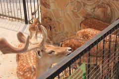Олени в зоопарке стоковое фото