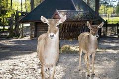 Олени в открытом зоопарке Стоковое Изображение