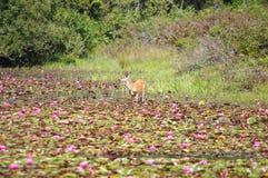 Олени в пусковых площадках лилии Стоковое Фото