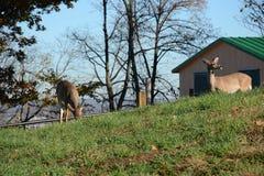 олени 2 детеныша Стоковая Фотография