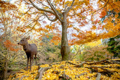 Олени живут свободно в Nara Стоковые Изображения