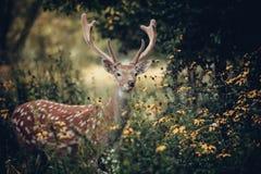 олени заискивают whitetail любящей мамы наблюдательный Стоковое Изображение RF