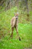 олени заискивают whitetail любящей мамы наблюдательный Стоковые Изображения RF