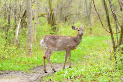 олени заискивают whitetail любящей мамы наблюдательный Стоковое Фото