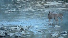 олени заискивают whitetail любящей мамы наблюдательный сток-видео