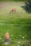 олени запятнали Стоковое фото RF