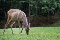 Олени имея траву в поле Стоковое фото RF