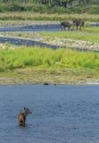 Олени и слоны Sambar Стоковые Изображения RF