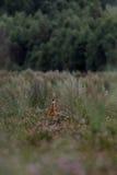 Олени козуль в лете Стоковое Изображение RF