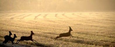 Олени козуль в поле стоковое фото