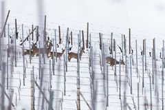 Олени косуль в винограднике во время зимы Стоковые Изображения RF