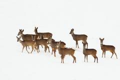 Олени косуль в зимнем дне стоковые фотографии rf