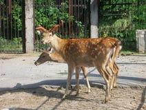 Олени косуль в зоопарке стоковое фото rf