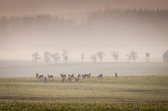 Олени косуль в луге с туманным лесом Стоковое фото RF
