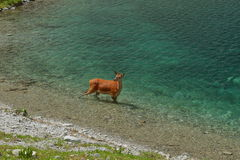 Олени косуль в Tatras стоковое фото rf