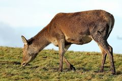 Олени косуль есть траву в зеленом поле Стоковое Изображение RF