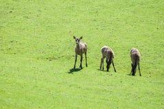 Олени косуль пася на поле Стоковые Фотографии RF