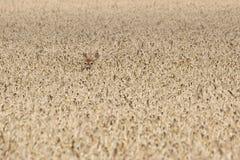 Олени косуль (capreolus Capreolus) пряча в поле зерна Стоковое фото RF