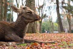 Олени кладут вниз на землю, парк Nara, Японию Стоковое Изображение