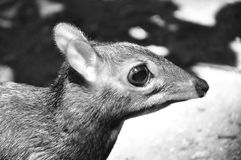 Олени мыши Стоковое фото RF
