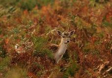 олени младенца милые Стоковые Фотографии RF
