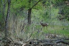 Олени на национальном парке Сиона Стоковая Фотография