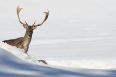 Олени на предпосылке снега стоковое фото
