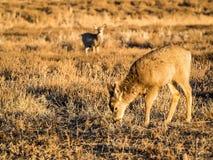 Олени осла пася в траве прерии Стоковая Фотография RF