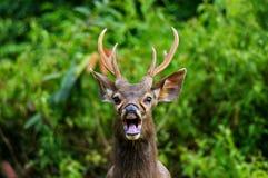 Олени оленей Sambar одичалые Стоковые Изображения RF