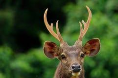 Олени оленей Sambar одичалые Стоковое Изображение RF