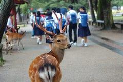 Олени перед студентом и туристом на обочине Nara паркуют, Япония Селективный фокус Стоковые Изображения