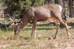 олени самеца оленя пася осляка Стоковые Изображения