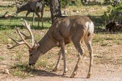олени самеца оленя пася осляка Стоковое Изображение RF