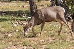 олени самеца оленя пася осляка Стоковые Фото