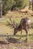 олени самеца оленя пася осляка Стоковая Фотография RF