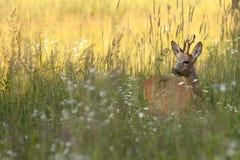 Олени самца оленя в одичалом стоковые изображения rf